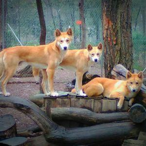 Dingo Sanctuary Bargo Logo