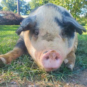 The Pig Preserve Logo