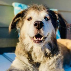Gray Face Acres senior dog rescue Logo